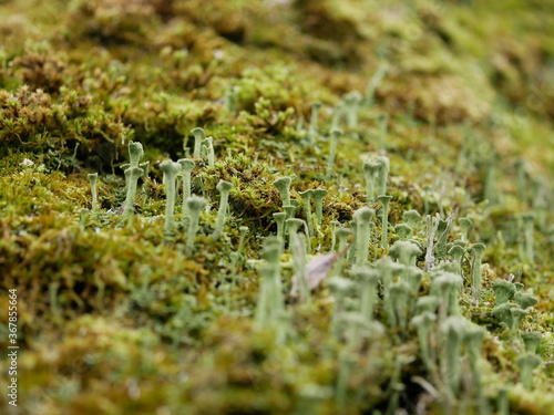 Macrophotography of moss with bokeh effect Canvas Print