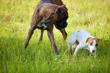 Jack Russell Terrier And Boxer Play In The Grass. Soft Focus.