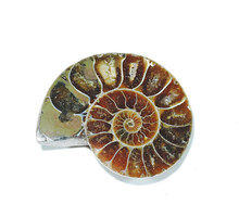 Ancient Ammonite Fossil