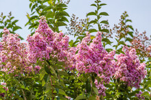 Blooming Pink Indian Lilac Or Lagerstroemia In Summer