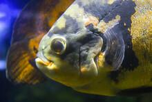 Oscar Fish (Astronotus Ocellatus). Tropical Freshwater Fish In Aquarium.