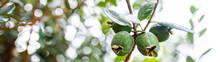 Pineapple Guavas Green On A Yo...