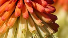 Red Hot Poker Kniphofia In Full Bloom In Garden