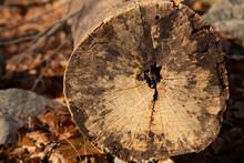 Tree Stump Profile Section Cut Pattern