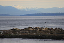 Sea Lions Having A Rest During Low Tide At Whitty's Lagoon On Vancouver Island Canada With The Olympic Mountains In The Background.