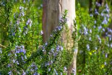 A Very Aromatic Purple Flowering Rosemary Bush