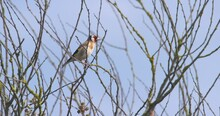 Goldfinch Bird Carduelis Carduelis Perched On Thin Tree Branch Flying Away