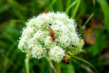 Bugs Mating On Viburnum Dentatum In Ireland