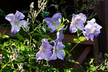 Bright Blue Clematis Flowers O...