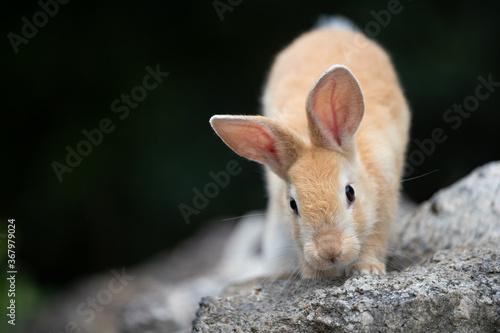 野生の仔ウサギ -うさぎの楽園 大久野島- Fototapete
