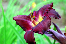 Vinous Lilium In The Garden. Blooming Lily In The Summer. The Pollen On The Flowers