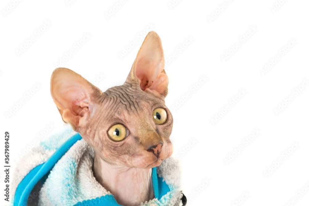 Fototapeta Sphynx Cat Wearing Sweater - Close Up