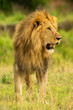 Male lion stands staring right over savannah