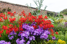 Red Crocosmia And Purple Phlox Flowering Plants In A Herbaceous Border.