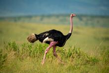 Male Common Ostrich Runs Through Long Grass