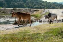 Zebu Bulls Near A Pond In Nature