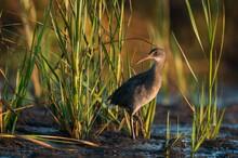 King Rail Or Marsh Hen Waterbi...