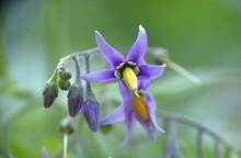 Purple And Yellow Flower Of Devil's Grapes (Solanum Dulcamara).