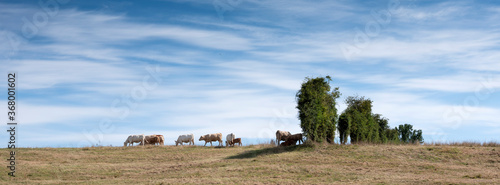 Canvas Print white cows in rural landscape of nord pas de calais in france