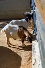 Goat (Capra Aegagrus Hircus) In Zoo Barcelona