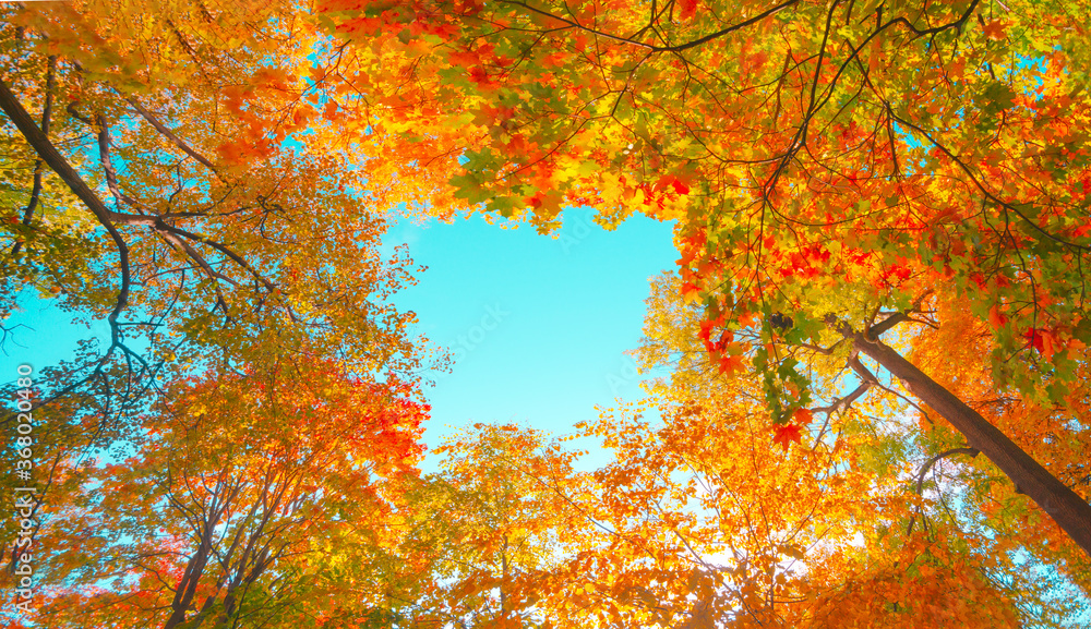 Fototapeta Autumn forest background. Vibrant color tree, red orange foliage in fall park. Nature change scene. Yellow leaves in october season Sun in blue sky Sunny day weather, bright light banner, border frame