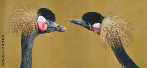 Photo Panoramic photo of profile portrait of two black Crowned Cranes (Balearica pavon
