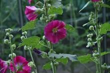 Closeup Shot Of Dark Pink Hollyhocks Growing In The Garden