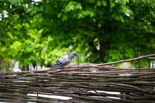 Gray Dove Sits On A Wooden Fen...