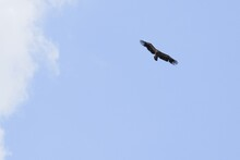 Low Angle Shot Of A Vulture Fl...