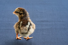 Baby Mini Wyandotte Chick On Blue Cloth Table Cover.
