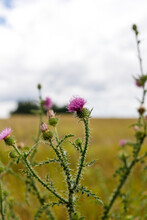 Flower Of Thistle In The Summer The Boundless Field. Cloudy Sky And Dried Grass. High Quality Photo