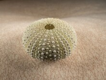 Closeup Shot Of A Dried Sea Urchin Isolated On Sand Background