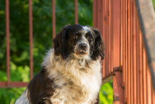 Metis English Cocker Spaniel I...