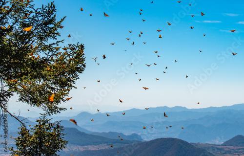 Obraz na plátně Monarch Butterfly Biosphere Reserve in Michoacan, Mexico