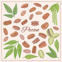 Pecan Nut Seed, Leaves, Flowers Plant Set. Hand Drawn Style. Retro Vintage Graphic Design. Detailed Botanical Vector For Organic Food, Cosmetics Component