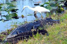 Florida- Predator VS Prey, All...