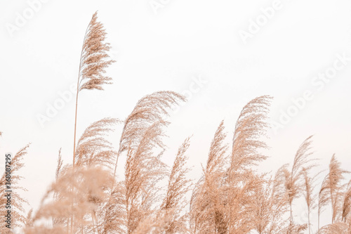 Pampas grass outdoor in light pastel colors Canvas