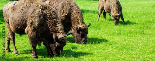 aurochs Tapéta, Fotótapéta