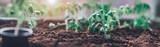 Fototapeta Kawa jest smaczna - tomato seedlings growing in the soil at greenhouse