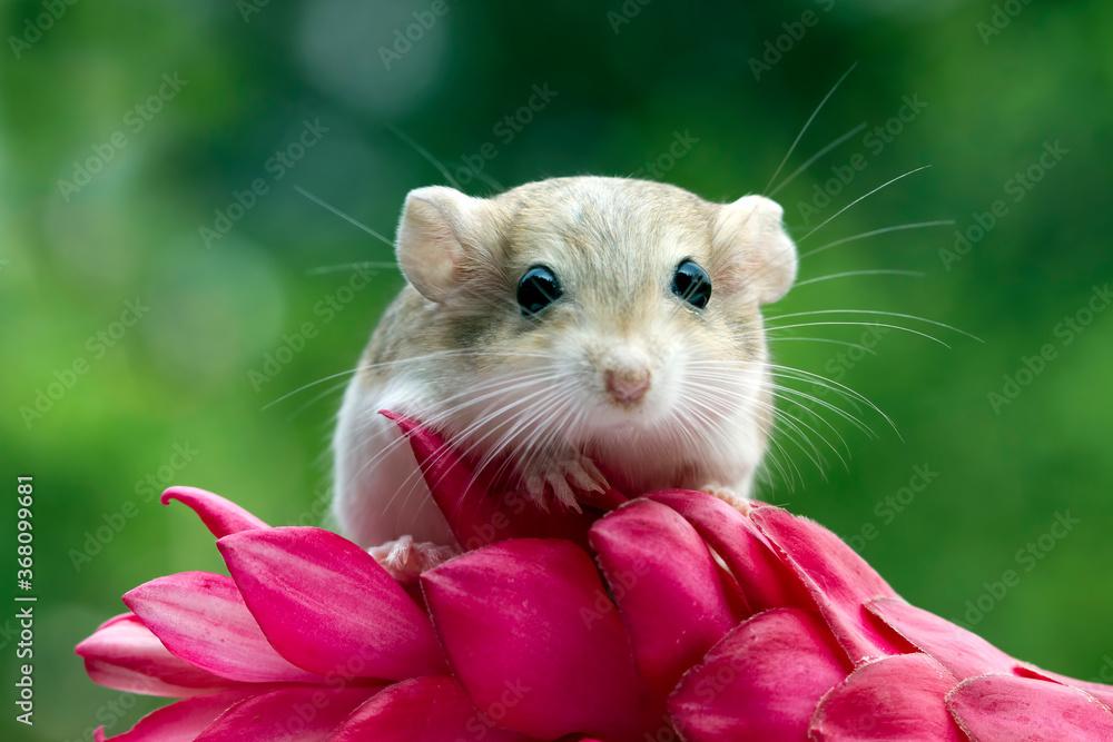 Fototapeta Cute gerbil mouse closeup face, Garbil mouse on red flower