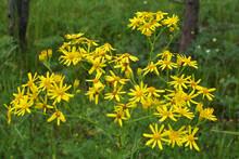 Senecio Blooms In The Wild