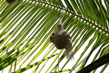 Village Weaver On Its Nest On A Palm Tree Under The Sunlight At Daytime