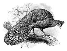 Peacock, Vintage Illustration.