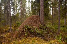 A Large Ants Nest In A Coniferous Taiga Forest In Northern Finland.