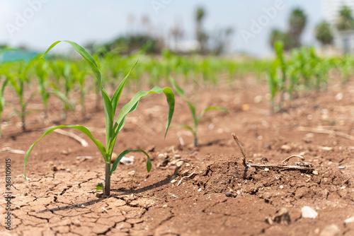 Fotografia, Obraz Corn crops suffer as drought continues