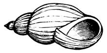 Snail Shell, Vintage Illustration.