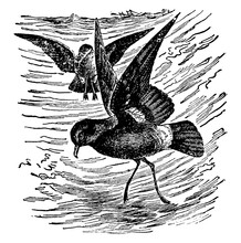 Stormy Petrel Or Mother Carey'...