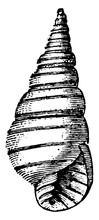 Shell, Vintage Illustration.