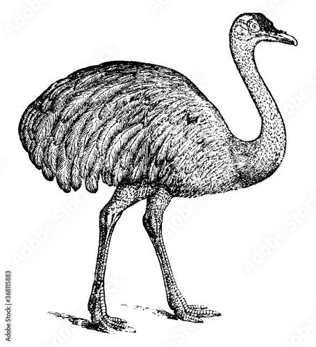Fényképezés Ostrich, vintage illustration.