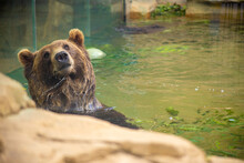 Brown Grizzly Bear Smiling While Swimming In A Pool On A Hot Summer Day At The St. Louis, Missouri Zoo